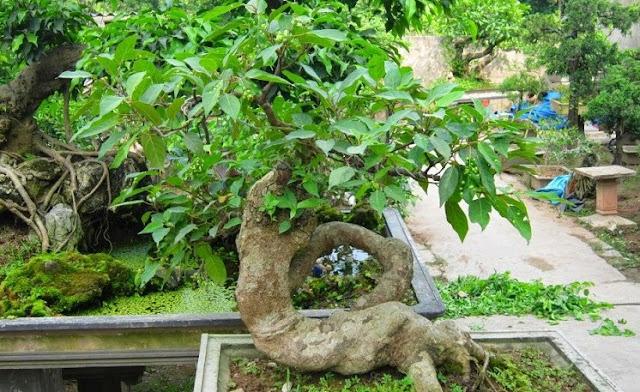 Trồng và chăm sóc cây Sung cảnh