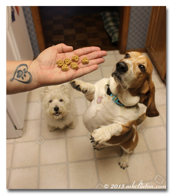 Basset reaching for treats in hand Westie watching