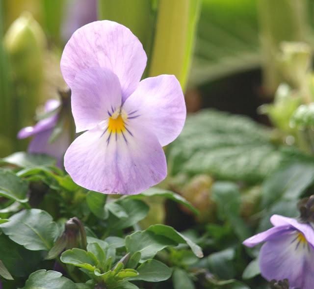 Lyslilla hornviol i fad med forårsblomster