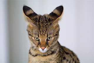 Savannah Cat Lifespan, Weight, Size, Personality, Images And Diet