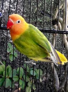 Cara Mengatasi Lovebird Gigit Jeruji Atau Ngeruji Terus
