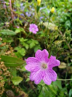 cranebill flower