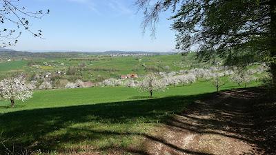 Schattiger Wanderweg mit blühenden Kirschbäumen