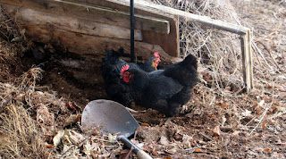 The chickens go digging for grubs