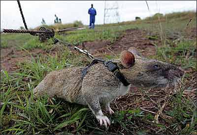 非洲 掃雷巨鼠 清除致命地雷 @ 法克部 :: 痞客邦