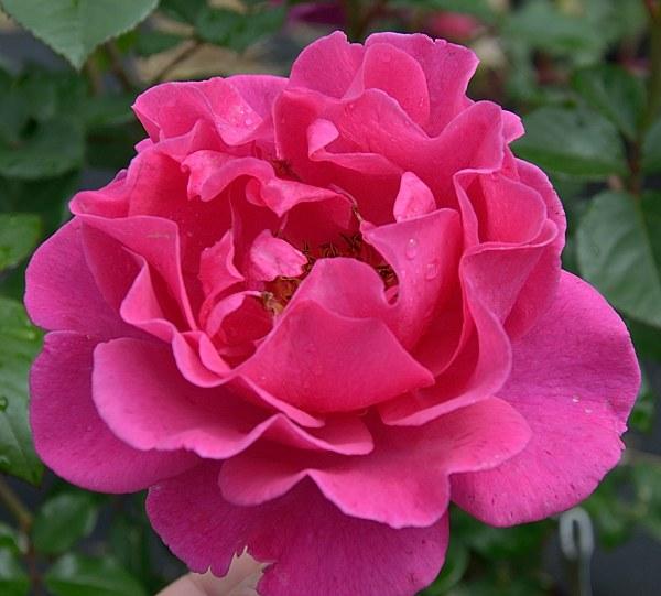 Princess Alexandra Renaissance сорт розы фото саженцы Минск