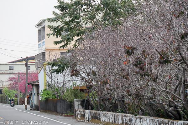 新社興社街櫻花、區公所櫻木花道、喬木咖啡大南坡櫻花2/20花況