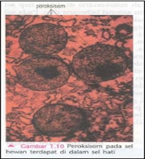 Pambar peroksisom yang terdapat pada sel hati