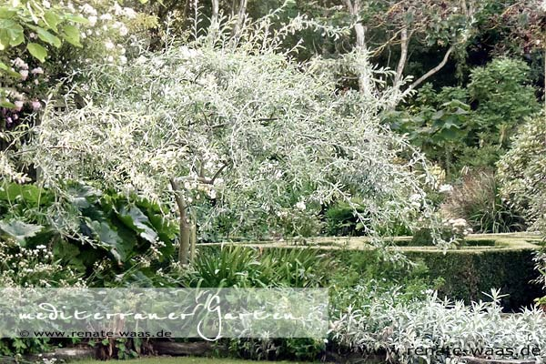 Pyrus salicifolia pendula - weidenblättrige Birne - winterharte Pflanzen für den mediterranen Garten