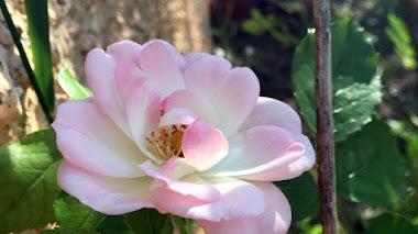 Rosa 'Pearl La Sevillana'