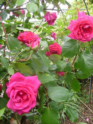 ma plan te jardin floraison particuli rement pr coce de certains rosiers. Black Bedroom Furniture Sets. Home Design Ideas