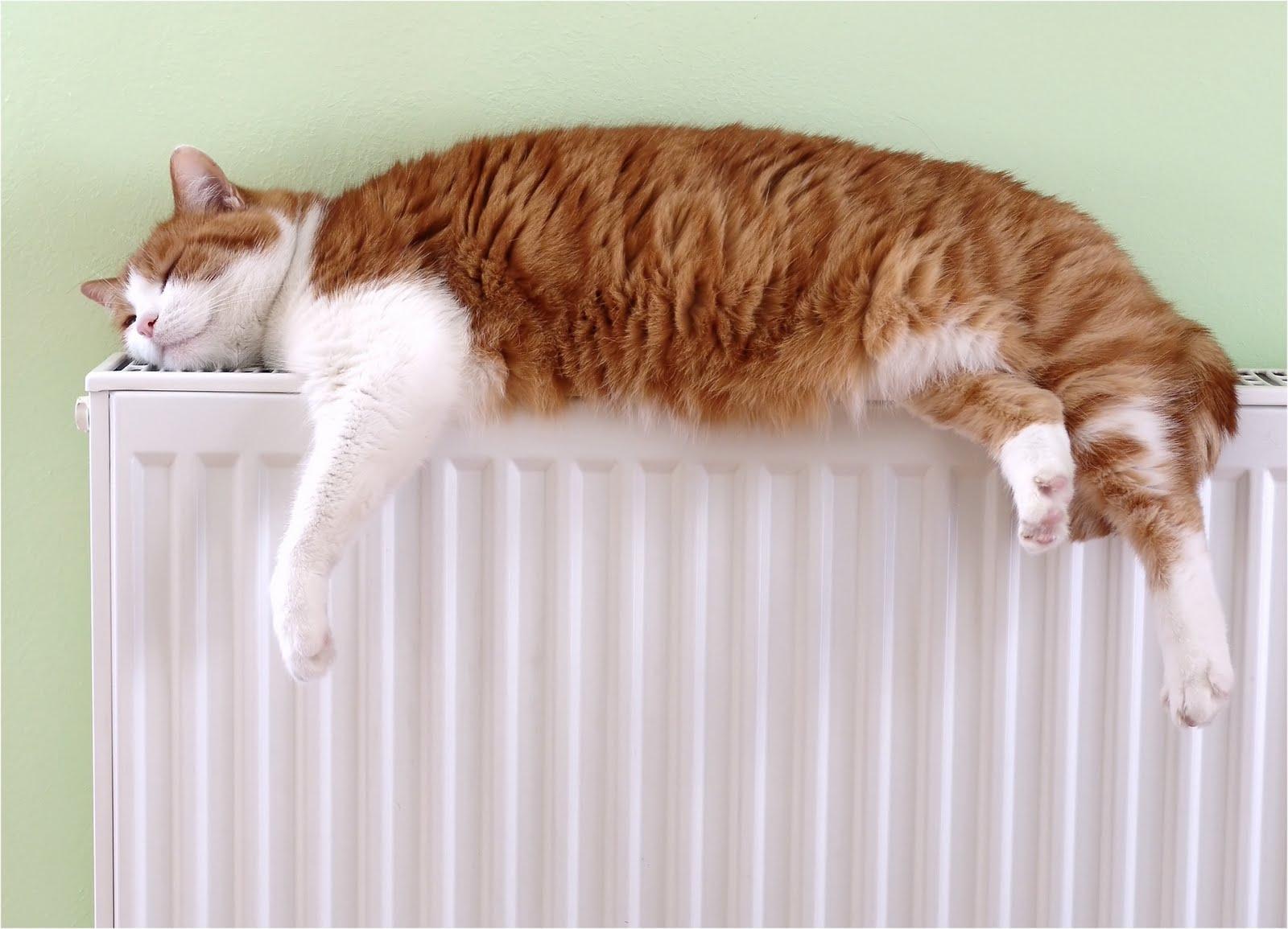 Resultado de imagen de gato radiador