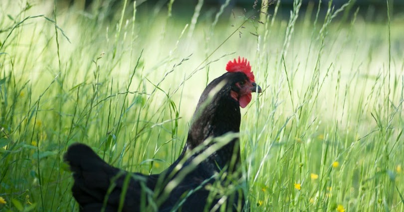 Chickens Are Omnivores Not Vegetarians Fresh Eggs Daily 174