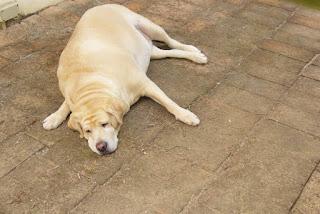 5 Consejos Para Ayudar A Su Perro De Sobrepeso