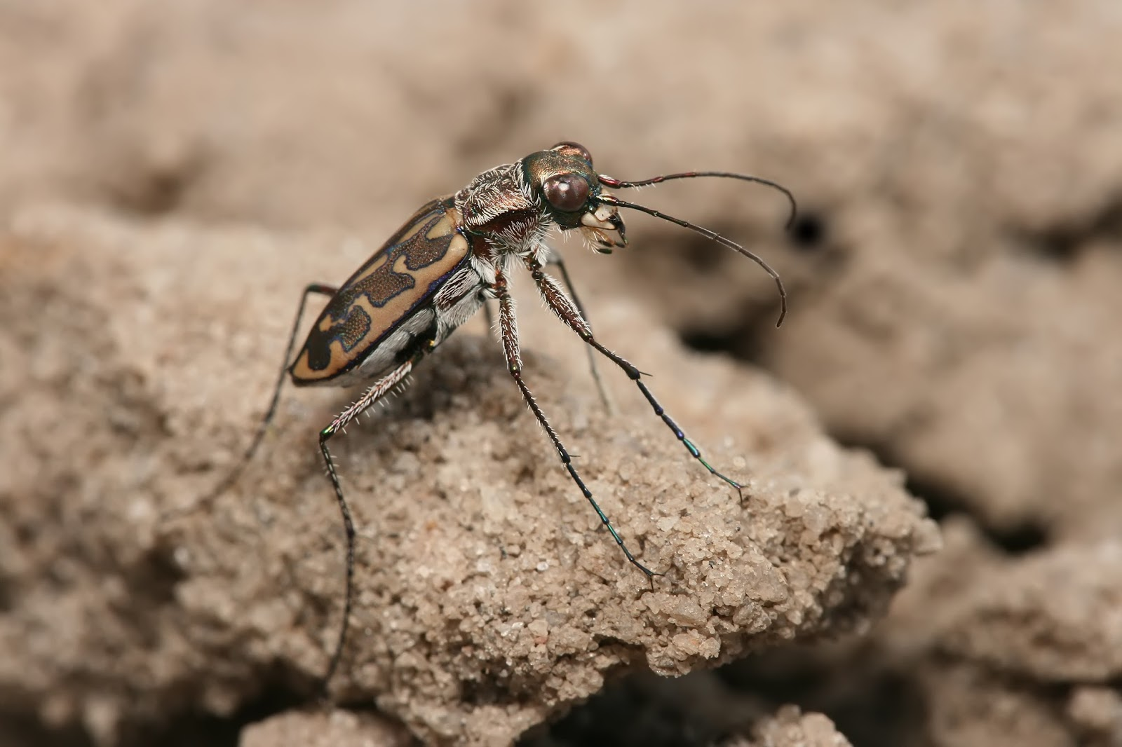 Insects: Tiger beetle Lophyra sp