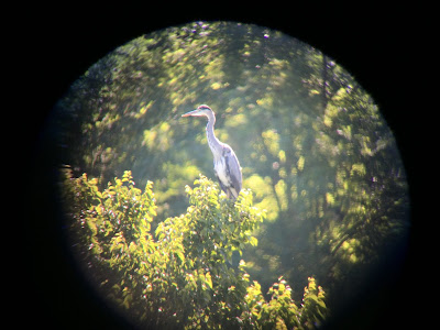 Photo of a grey heron at the riserva