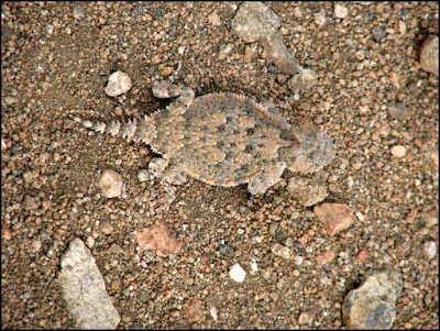 Joshua Tree National Park,horned lizard,desert,Mojave,horny toad