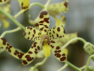 Orchidée léopard - Ansellia africana