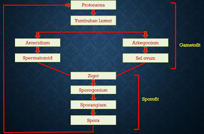 Daur Hidup Tumbuhan Lumut (metagenesis)