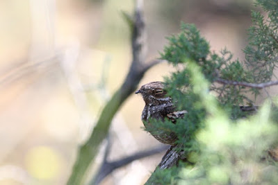 well hidden Nightjar