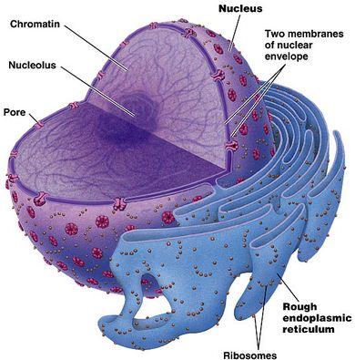 Nukleus dan Retikulum Endoplasma kasar (Campbell, et al 2006).