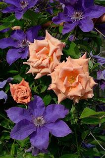 Ann Henderson сорт розы фото
