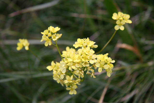 Naturwunder  Blumen aus dem VillgratenTal in OstTirol