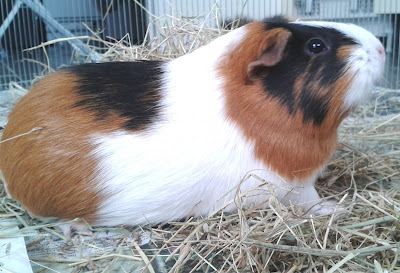 family pets tri-colour guinea pig