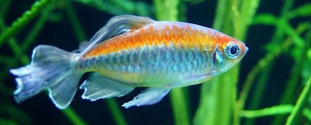 Congo Tetra - Cara Budidaya Ikan Hias