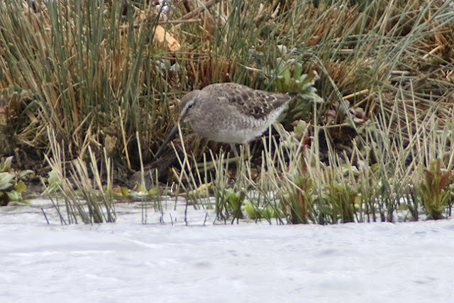 Long-billed Dowitcher Rutland Water