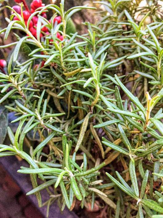 Rosemary Oil Benefits And Uses