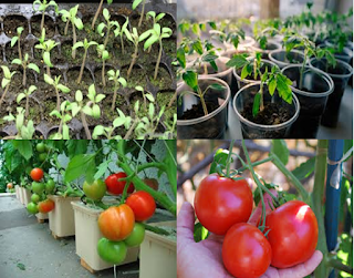 """easy guide organic tomatoes plant in pot or container"",""growing organic tomatoes plant"",""planting tips tomatoes plant"""