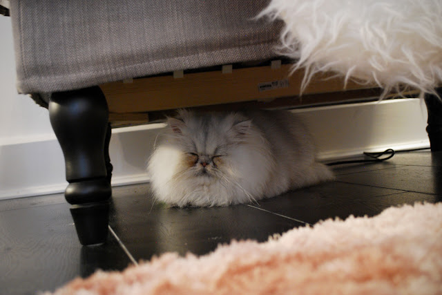 Napoleon - Chinchilla persian - The Cat in the Window Cafe Aberdeen