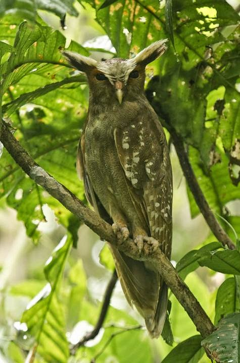 Búho corniblanco: Lophostrix cristata