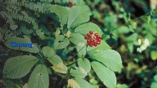 Ginseng This ancient plant has been known for its stress-relieving property as well as an immune-booster.