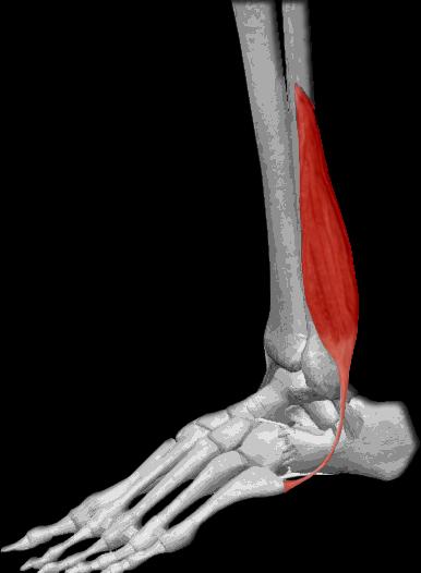 Músculo peroneo lateral corto | iinmed