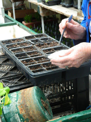 Sunnybrook Volunteer Association greenhouse sowing seed by garden muses-not another Toronto gardening blog
