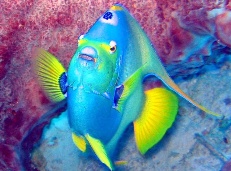 Queen Angelfish | The Life of Animals