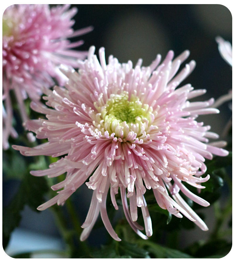 Federchrysantheme | Arthurs Tochter Kocht von Astrid Paul