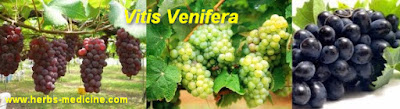 Beauty Tips use Vitis vinifera