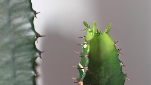 pousse de cactus