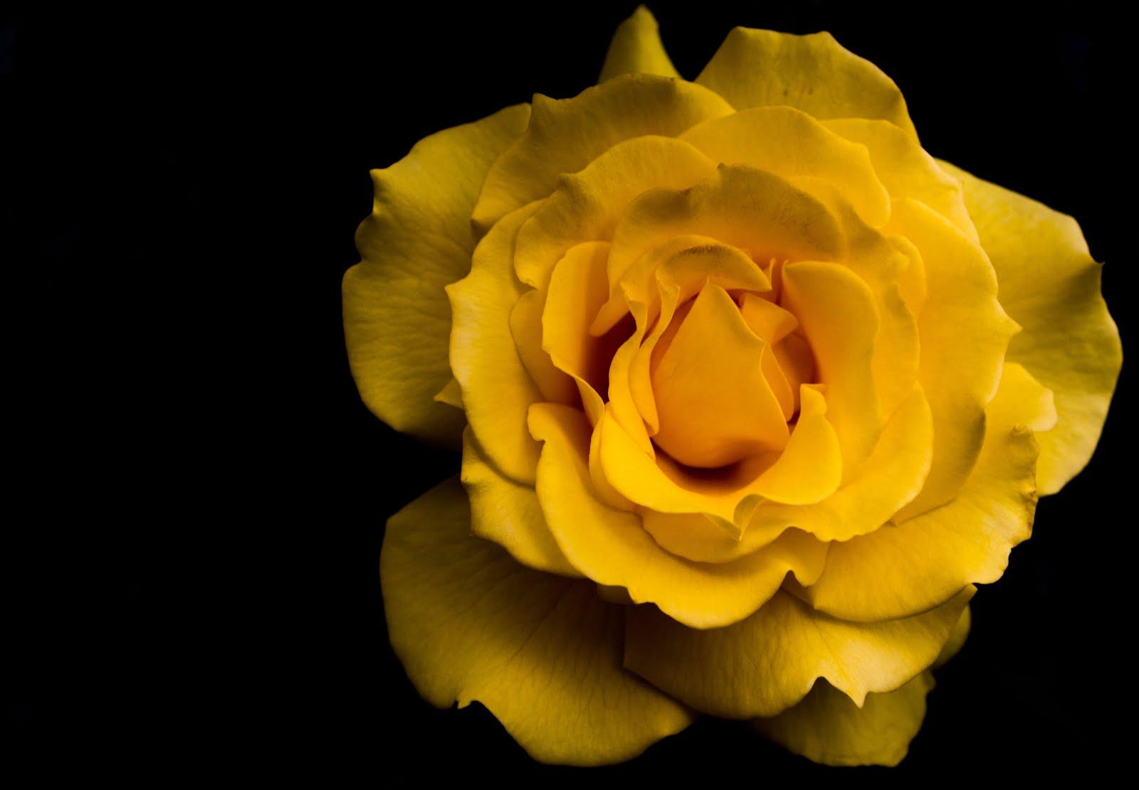 Yellow Rose at Yokohama garden necklace