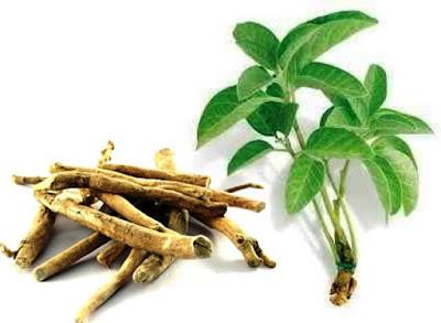 ashwagandha, akar ashwagandha, herbal, Manfaat Tanaman Herbal, ayurvedic, manfaat akar ashwagandha, manfaat ashwagandha, kandungan gizi ashwagandha, Manfaat Kesehatan,