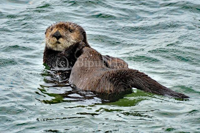 A Lone Sea Otter