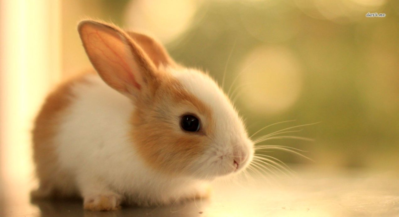 259 Rabbit HD Wallpapers Background Images Wallpaper Abyss