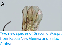 http://sciencythoughts.blogspot.co.uk/2014/09/two-new-species-of-braconid-wasps-from.html