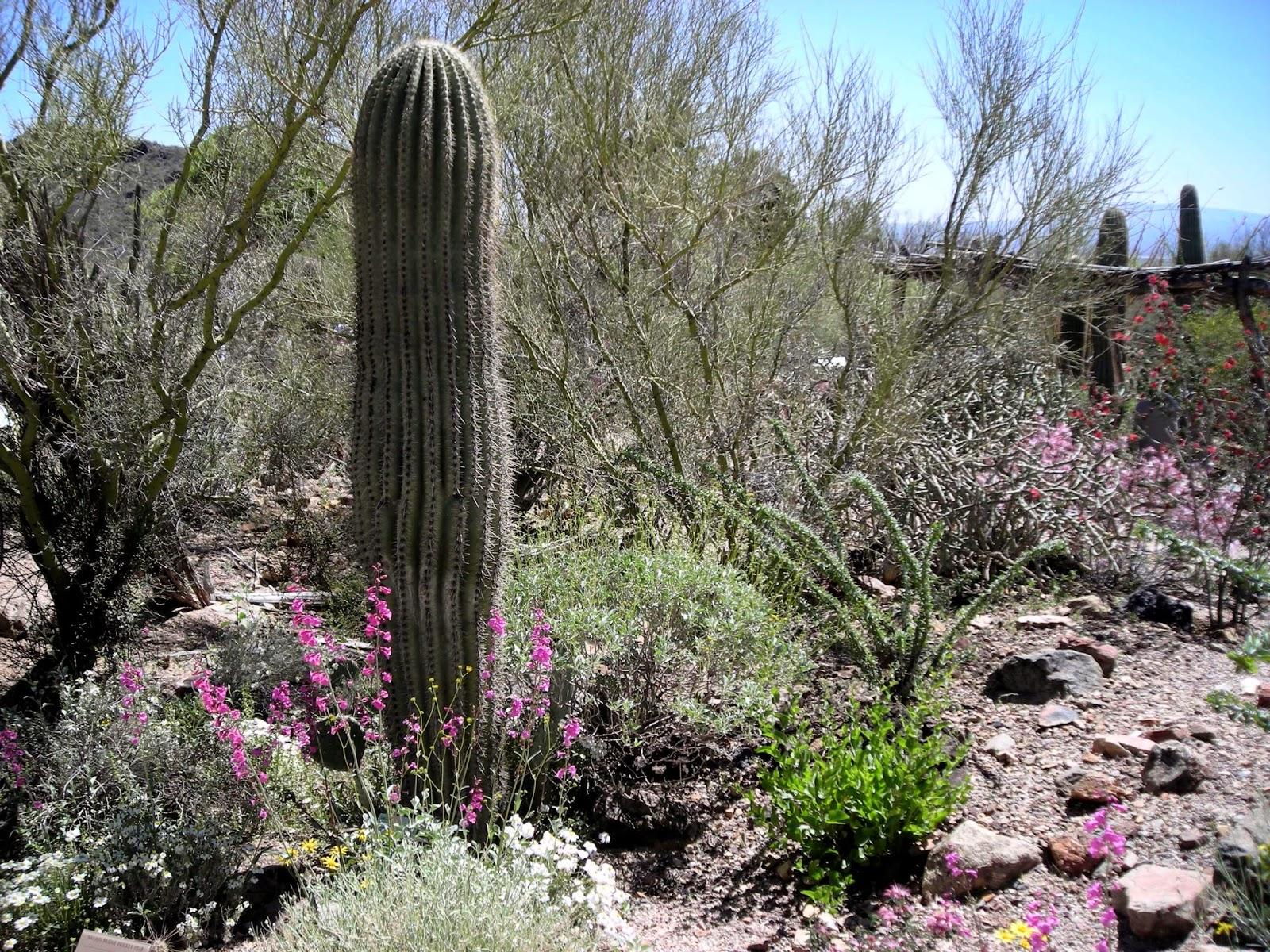 Sonoran cactus, Tucson