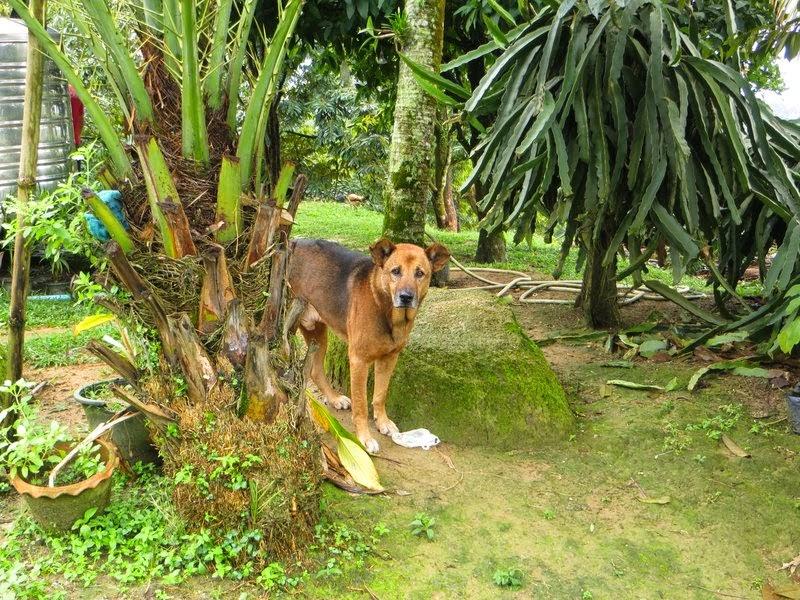 Стеснительная собака Самуи