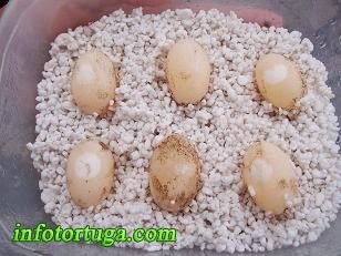 Huevos de Graptemys pseudogeographica