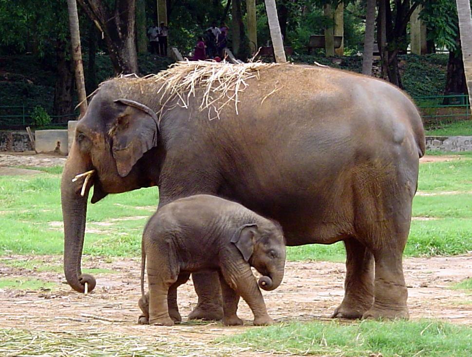 elephant zoo mysore indian india elephants animals asian wikipedia file wallpapers lover quiz animal fauna facts flora tourist wildlife baby